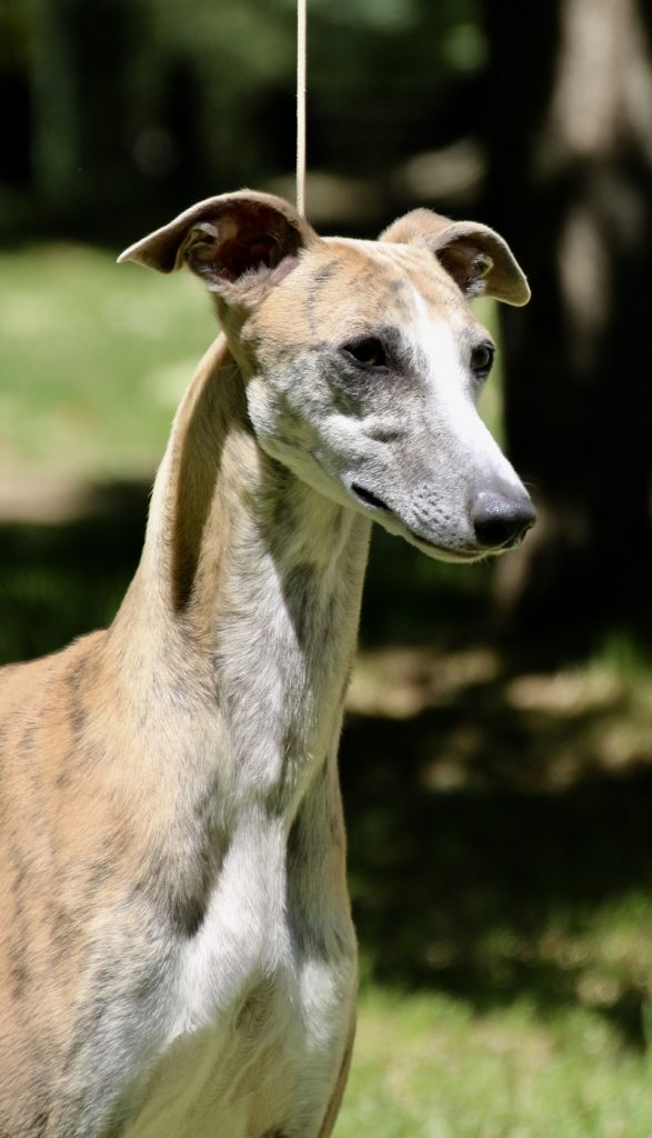 taejaan whippets harper