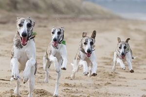 whippet dogs on beach