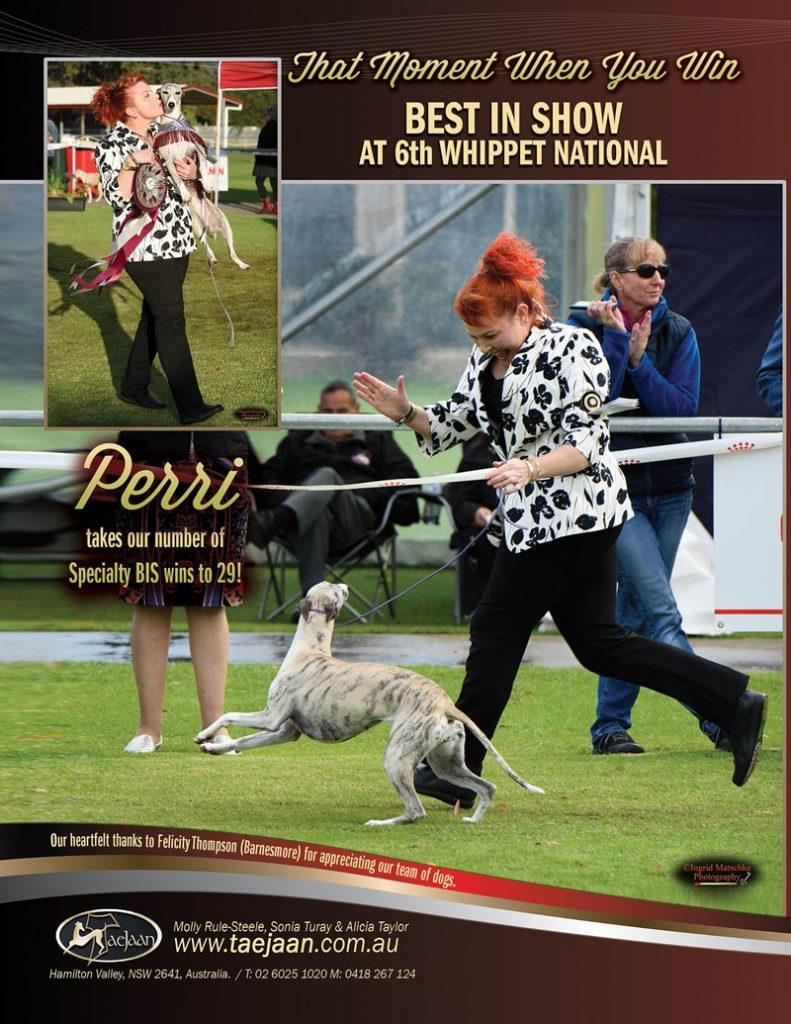 Taejaan's Perri wins best in show at whippet national