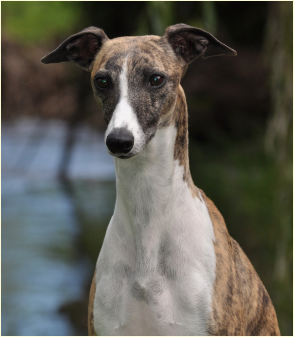 taejaan whippets lexie